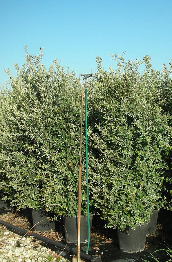 Vivarium Piante | Quercus Ilex cespuglio