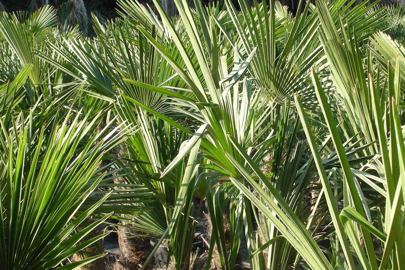 trachycarpus_fortunei
