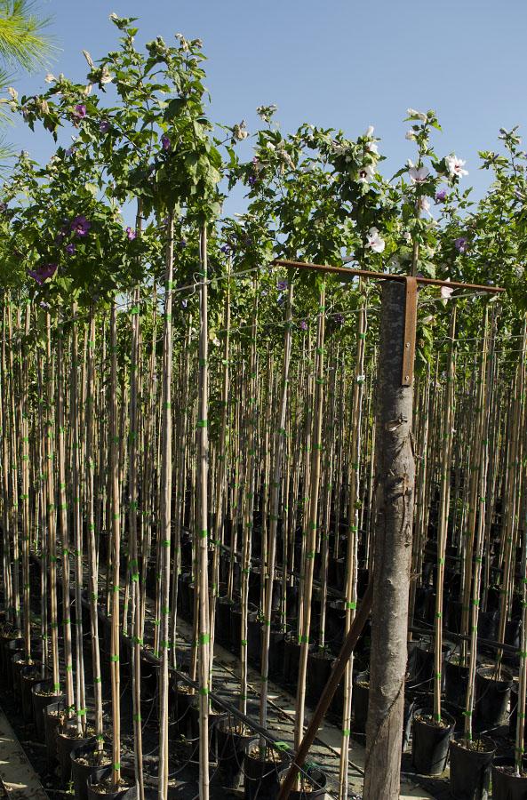 Vivarium piante hibiscus syriacus for Piante ad alberello